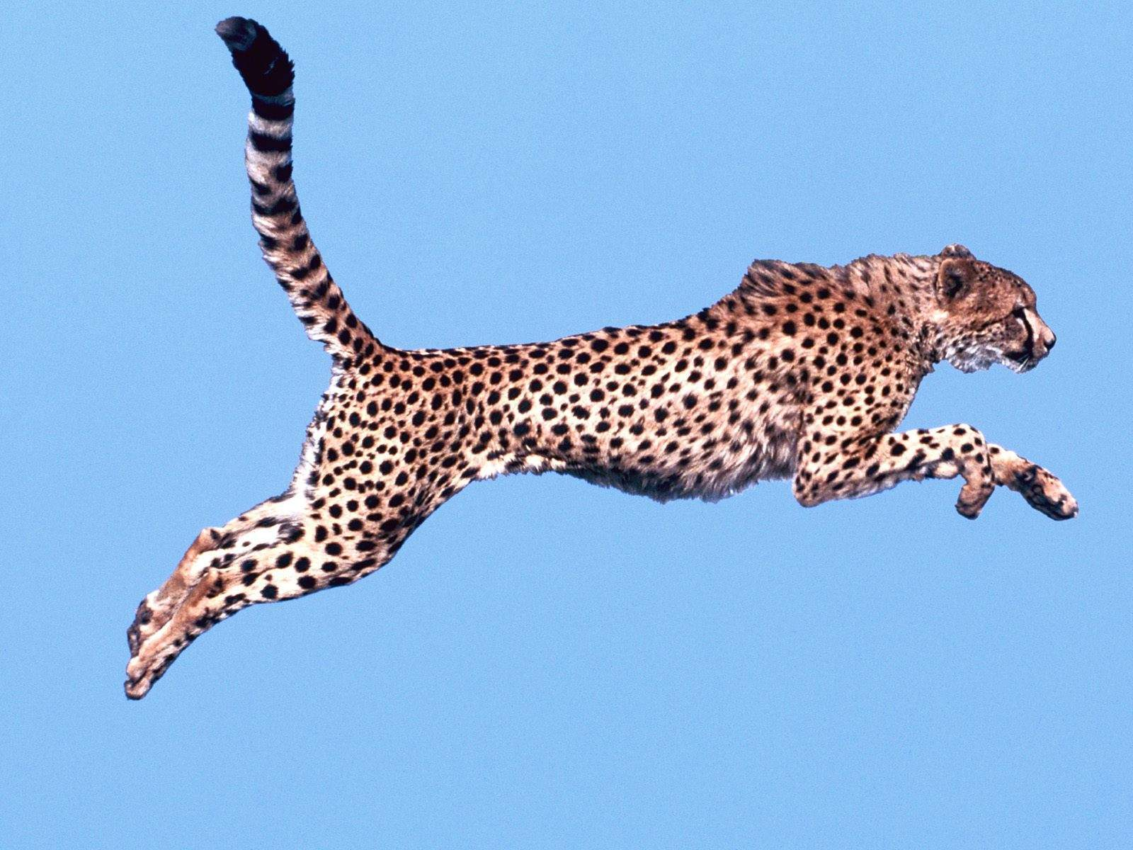 black and white wallpapers air time cheetah wallpaper