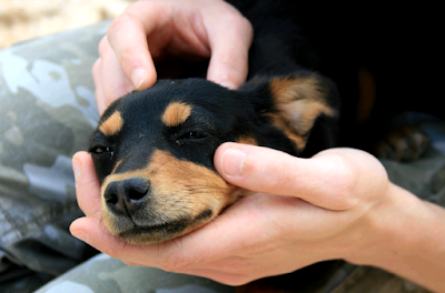 foto anjing cakep sakit keracunan
