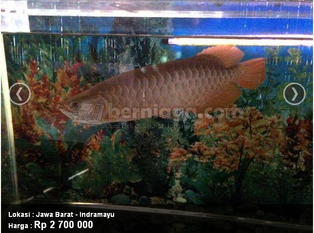 Ilmu Pengetahuan Harga Ikan Arwana Dan Jenis Jenis Arwana