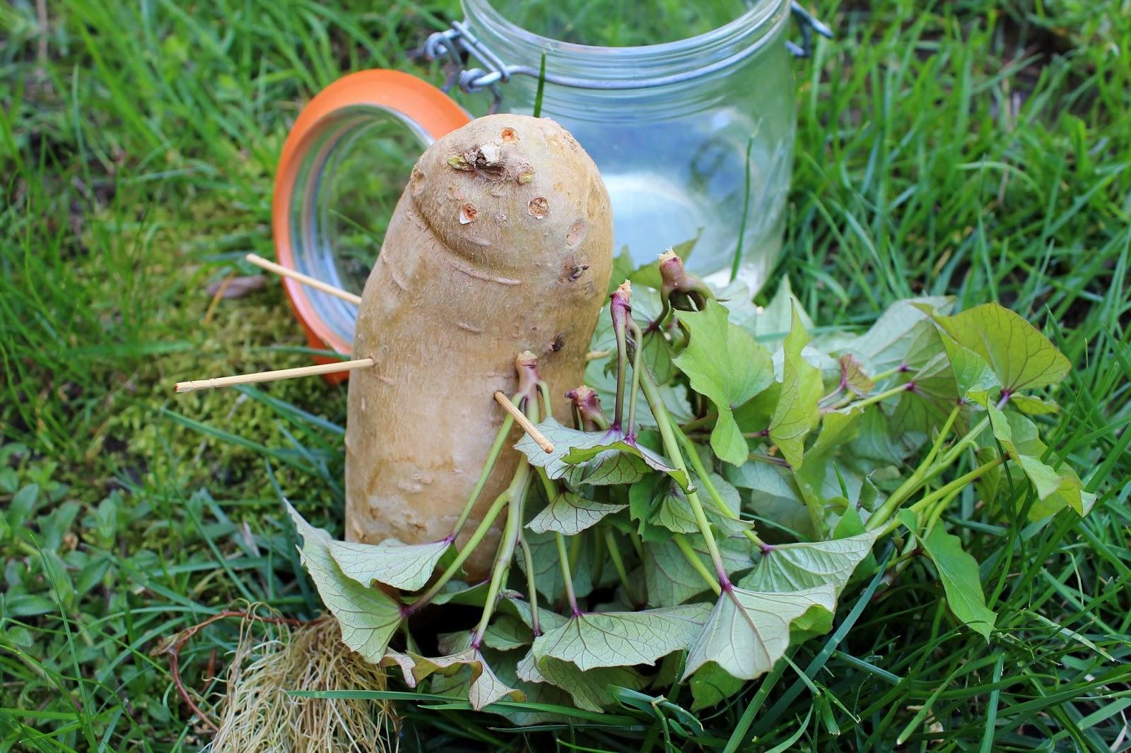how to grow sweet potatoes in ontario