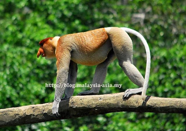 Dominant Proboscis Monkey