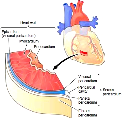 Anatomy And Physiology Of The Heart Cardiovascular System