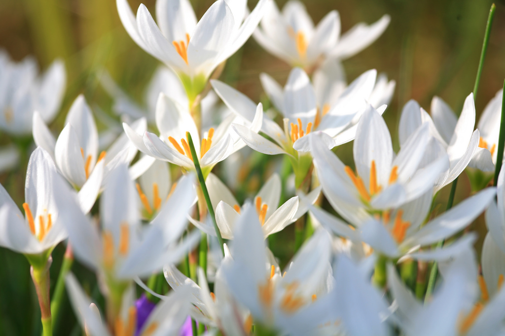 White Flowers Free Wallpaper