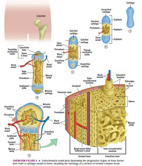Histologi:Jaringan Tulang dan Kartilago