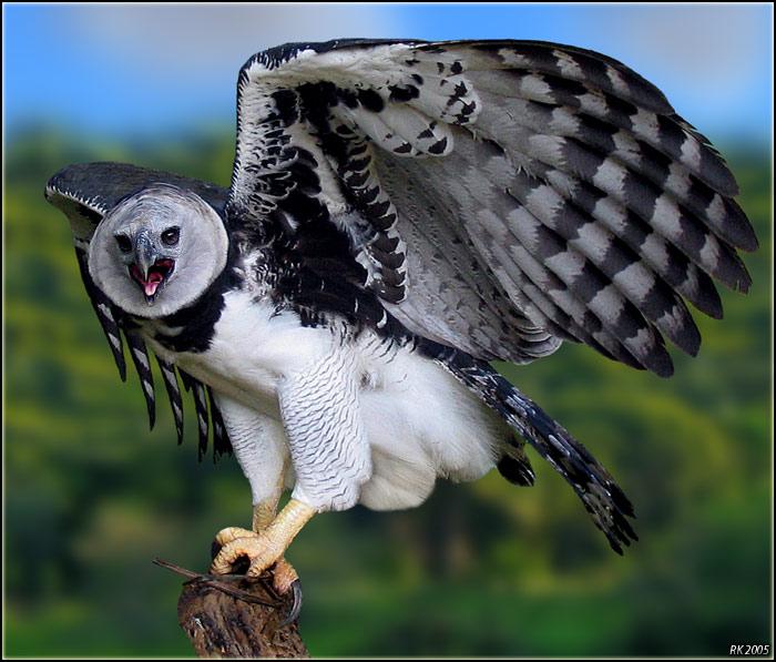 The Jungle Store Harpy Eagles Predators Of Rainforest