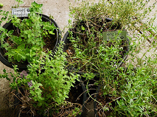 Pots of Thyme, Oregano, Marjoram, and Winter Savory