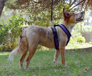Brisbane models the Urban Trails mushing harness by Alpine Outfitters