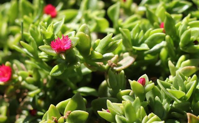 Aptenia Cordifolia Flowers Pictures