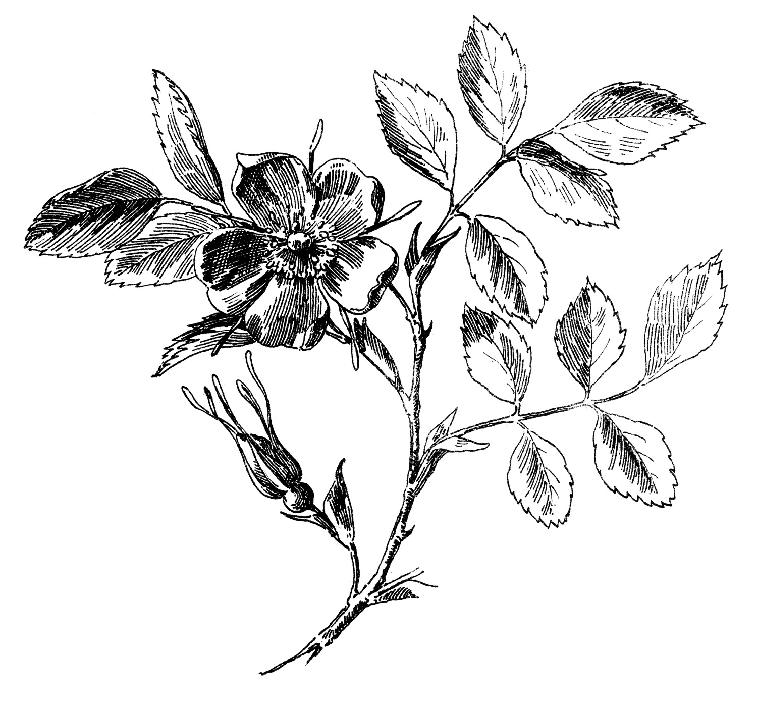 Beautiful Botanical artwork for sale Posters and Prints