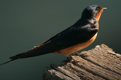 Barn Swallow, Kountze Lake