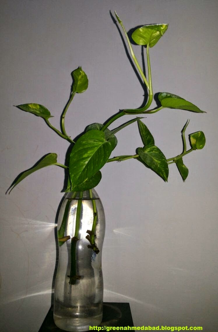 money plant in water bottle