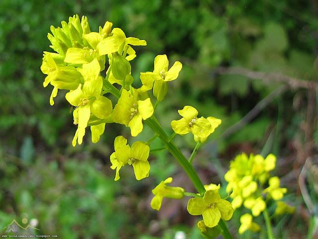 Gorczycznik pospolity (Barbarea vulgaris)
