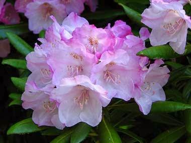 http://www.statesymbolsusa.org/Washington/flower_rhododendron.html