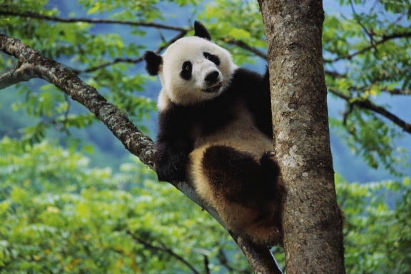 15 cutest endangered animals in the world, giant panda