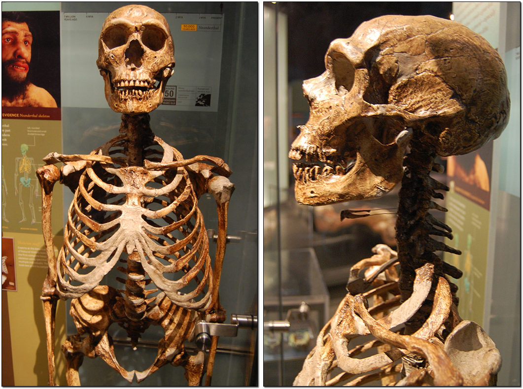 dimorphism human sexual skeleton