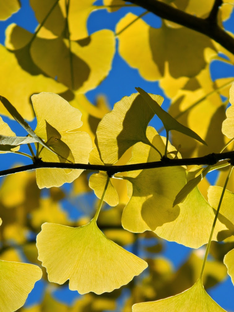 Maidenhair tree Ginkgo biloba  autumn foliage Mount Pleasant Cemetery by garden muses-not another Toronto gardening blog