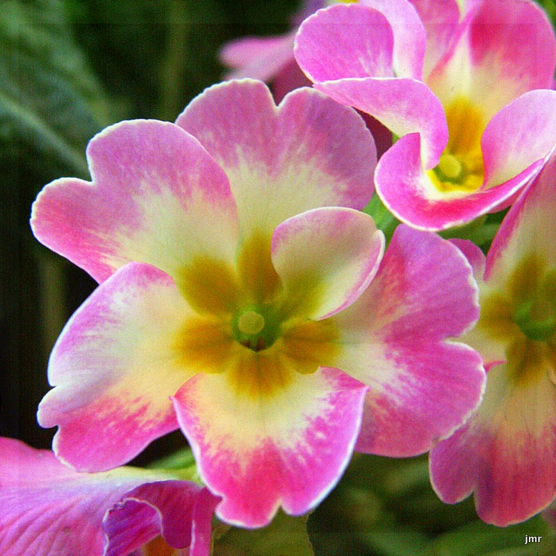 The Village Voice Fair Primrose February Flower Of The Month