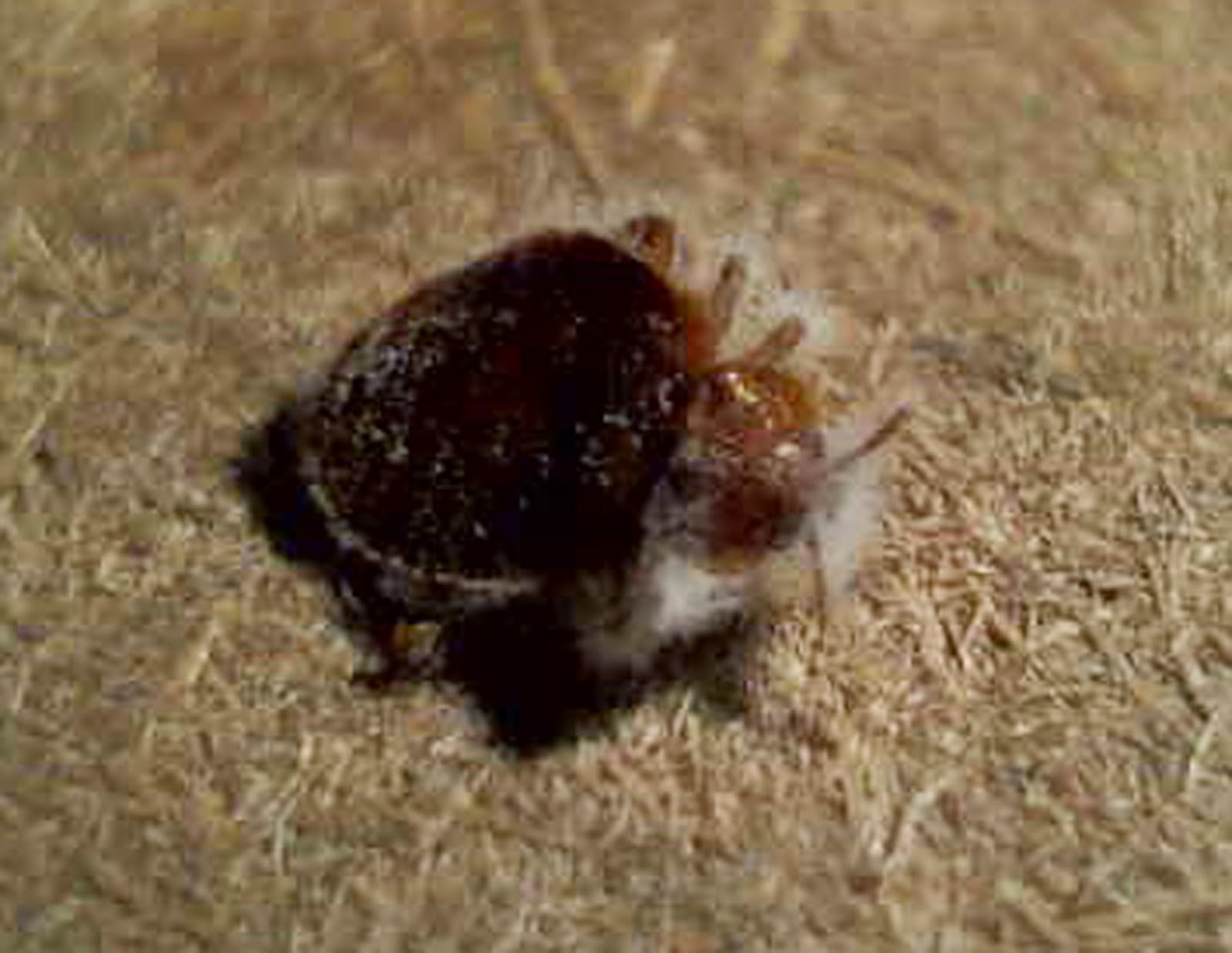 Small Beetles In Bedroom Sawyer Pest Management Inc London Ontario Pest Control Bed Bug