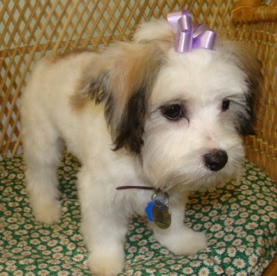 The Healthy Dog: Havanese Maltese mix puppy