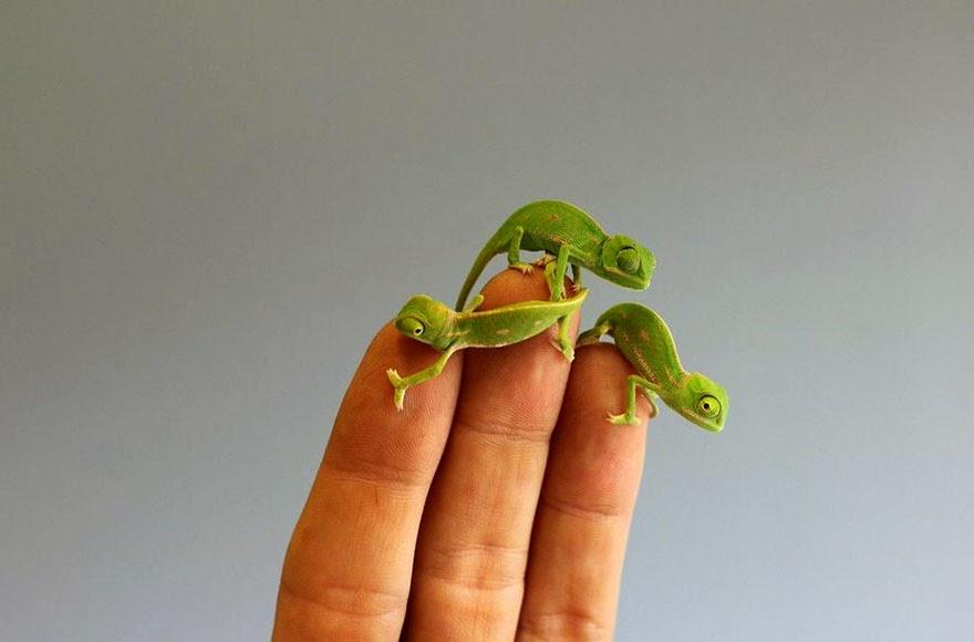 newly born baby chameleons Sydney Taronga Zoo-1