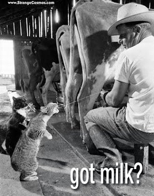 got milk cat with no tail