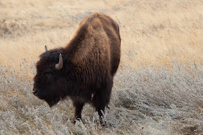 Badlands National Park: Bison