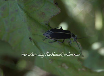 Black Blister Beetle Eating a Tomato Plant