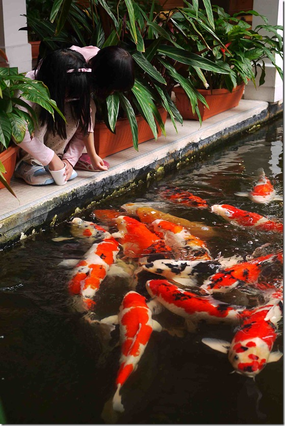 Koi fish care info 2013 for Koi feeding