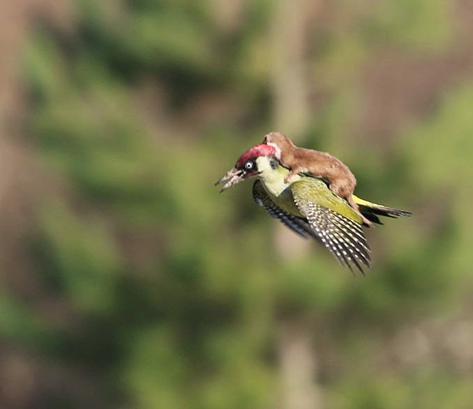 Martin Le-May caught the moment when the woodpecker took flight with a weasel on its back
