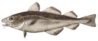 bacalao pez