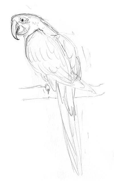 Amy Holliday Illustration  Owls And Parrots Sketches!