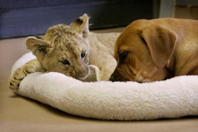 foto de leão e cachorro