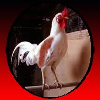 Ayam Ketawa