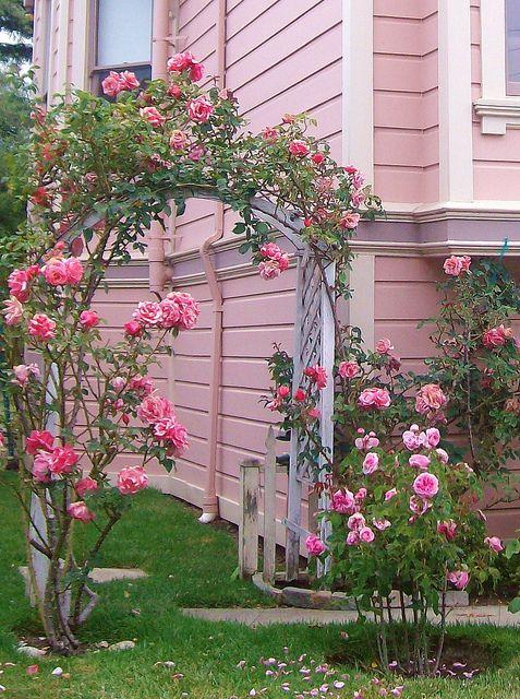 Rosas corderosa em uma casa rosa!