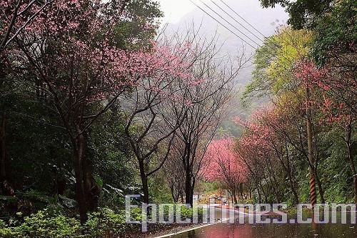 三芝櫻木花道3