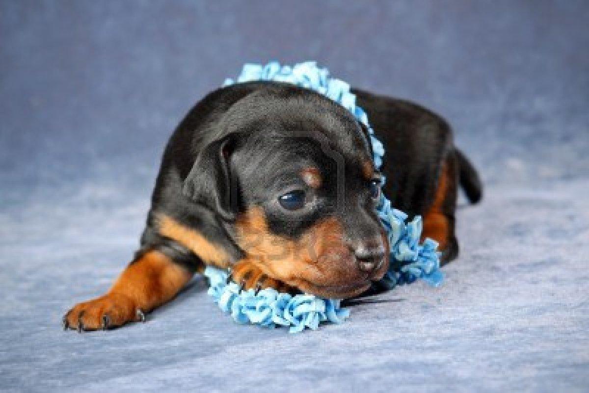 pin miniature pinscher pup - photo #31