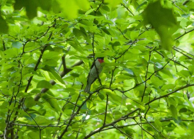 Rose-breasted Grosbeak - Inwood Hill Park, New York