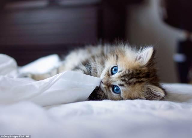 anak kucing main dengan selimut