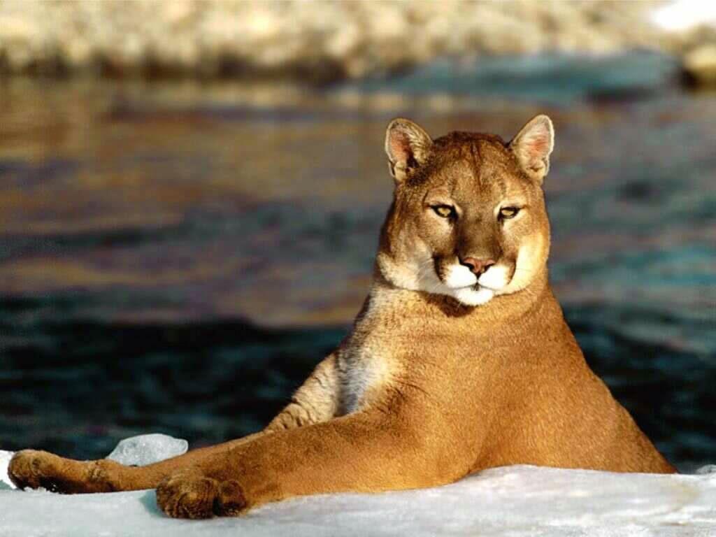 Il puma viene anche chiamato leone di montagna o cougar