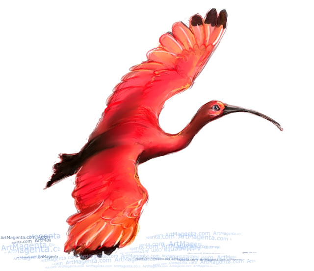 Scarlet ibis sketch painting. Bird art drawing by illustrator Artmagenta