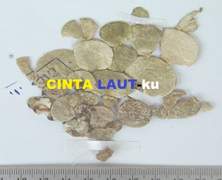 macroloba seaweed