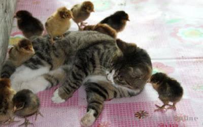 Vidio anak durhaka - Ayam kawin - Wah! Zebra Ini Lahirk