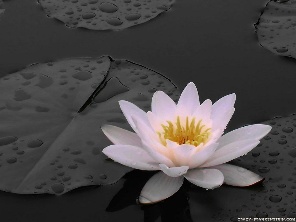 http://4.bp.blogspot.com/-BmLZxCPbeKM/TfZMQH4bXnI/AAAAAAAAAHo/ouUU5YsK76o/s1600/Lilies+Flowers+Wallpaper6.jpg