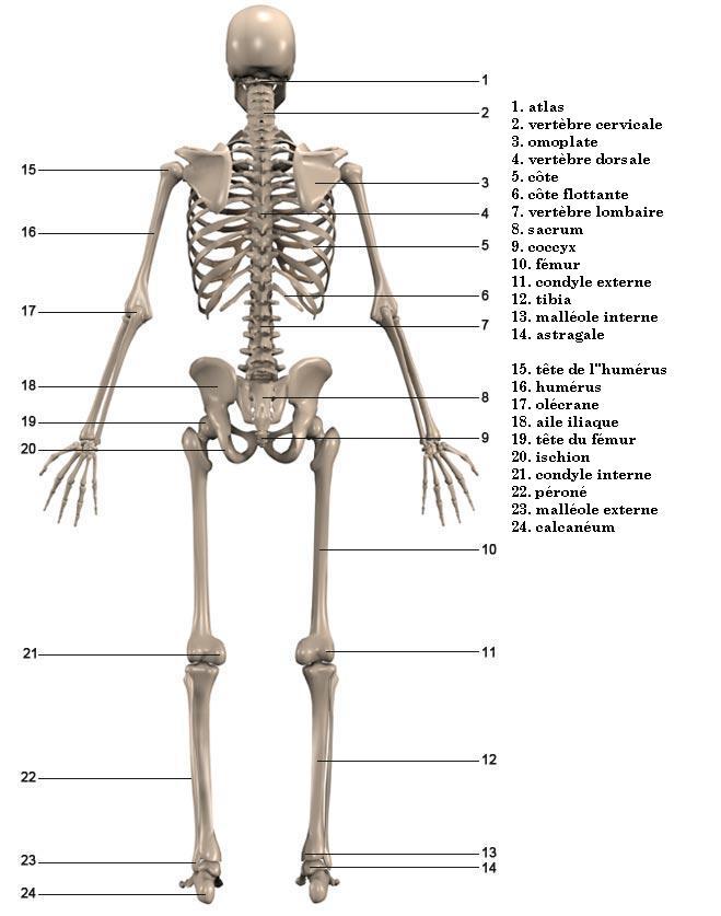 bodybuilding-univers-muscle: BODYBUILDDING:Anatomie du