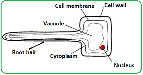 Root hair cell diagram gcse wiring diagram 62 passage of water through root stem and leaf biology notes for rh igbiologyy blogspot com palisade cell nerve cell ccuart Choice Image