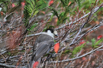 A Gray Jay - Perisoreus canadensis
