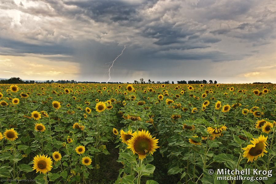 3. Electric Sunflower Sunset - Lightning Landscapes by Mitchell Krog