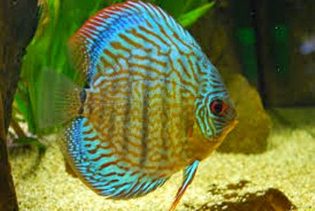The discus fish cool freshwater aquarium fish for Common freshwater aquarium fish