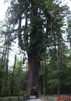 مجموعة من أغرب الاشجار حول العالم tree_6.jpg