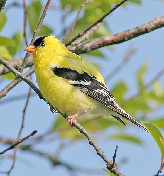 Rujax Campor Washington State Bird